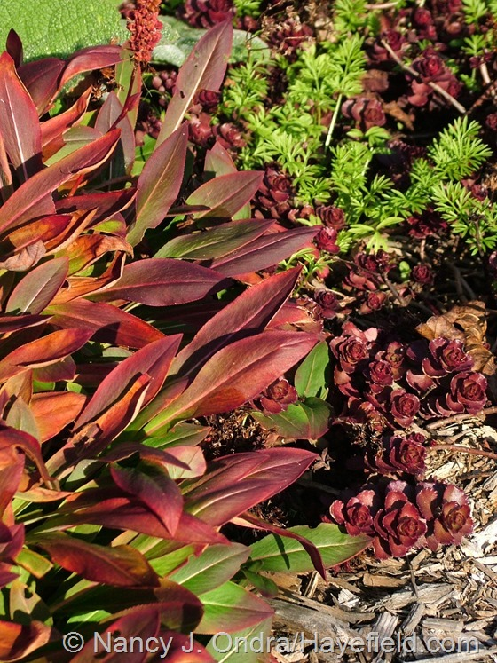 Persicaria affinis with Sedum spurium 'Voodoo' and Nigella seedlings at Hayefield.com