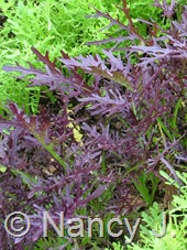 Brassica juncea 'Ruby Streaks' (mustard) at Hayefield.com