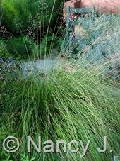 Sporobolus heterolepis at Hayefield.com