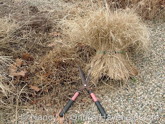 Using bungee cords and hedge shears to cut down ornamental grasses at Hayefield.com