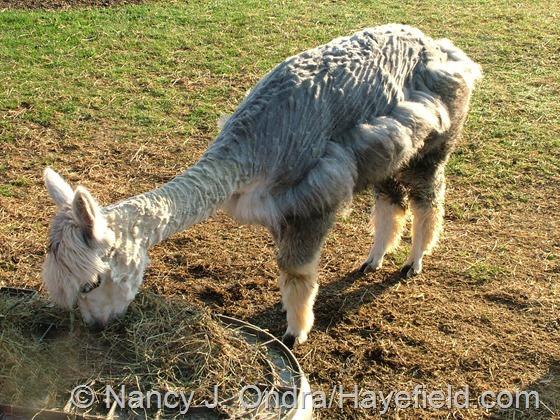Daniel on the half-shear