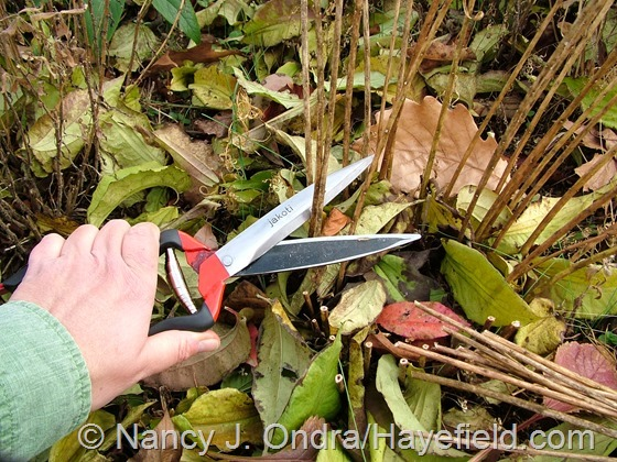 Using Jakoti hand shears to clean up woody-stemmed perennials at Hayefield.com