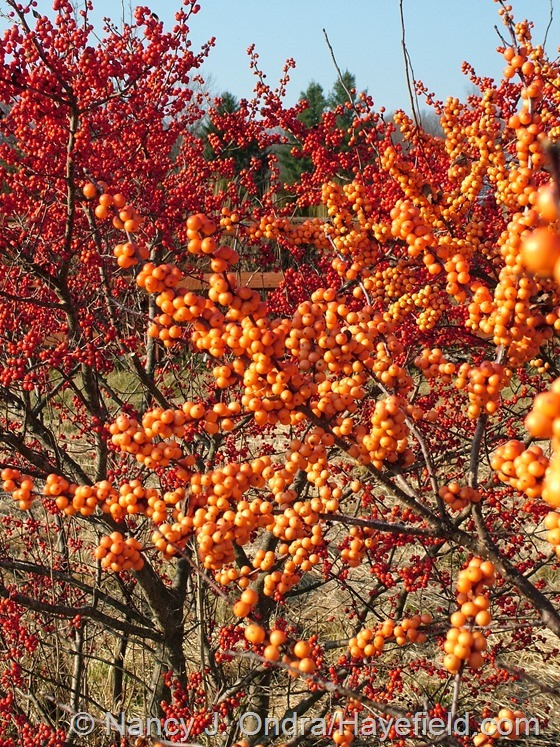 Ilex verticillata 'Winter Gold' at Hayefield.com