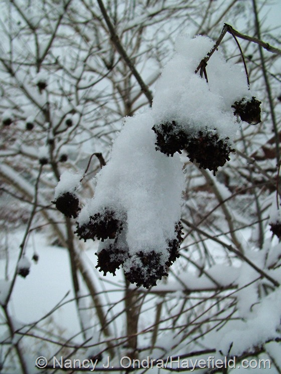 Cephalanthus occidentalis in the snow at Hayefield.com