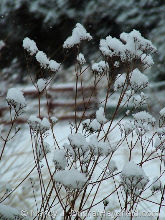Patrinia scabiosifolia in the snow at Hayefield.com