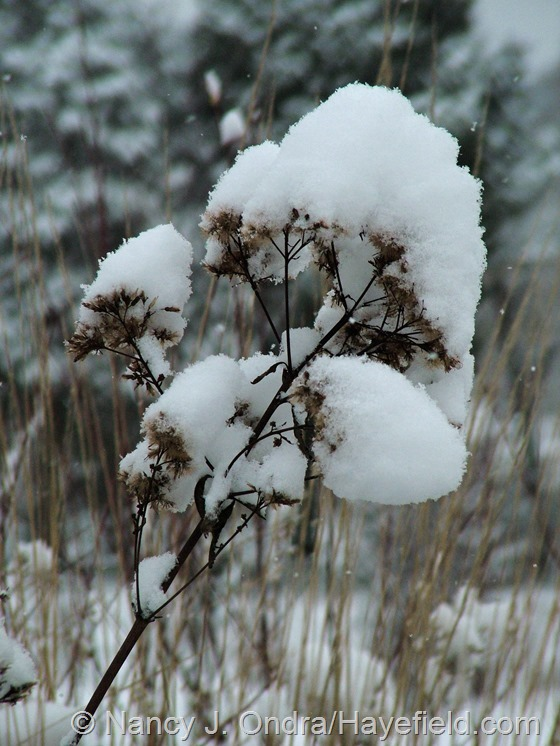 Vernonia noveboracensis in the snow at Hayefield.com
