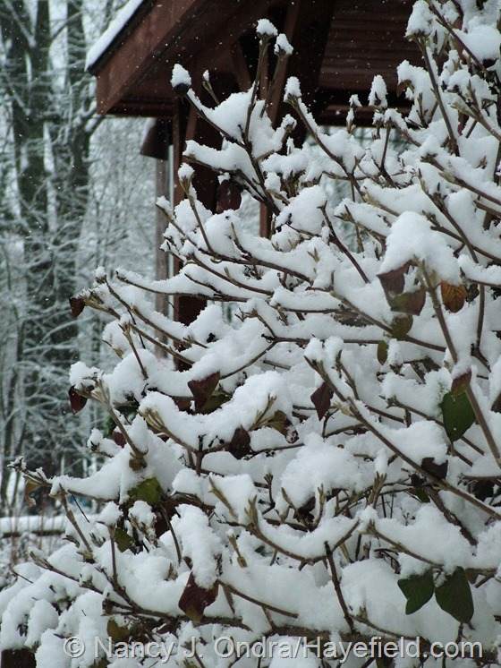Viburnum lantana 'Aurea' at Hayefield.com