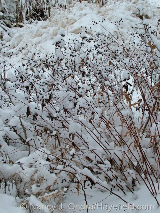Porteranthus stipulatus at Hayefield.com