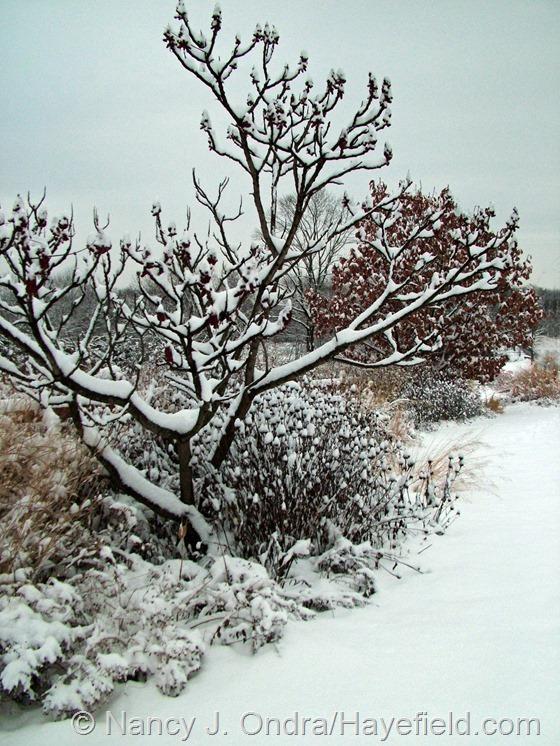 Rhus typhina 'Laciniata' at Hayefield.com