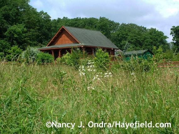 Penstemon digitalis in the meadow at Hayefield.com