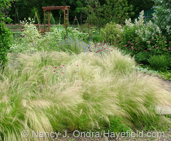 Side Garden with Stipa tenuissima June 20 2013 at Hayefield.com