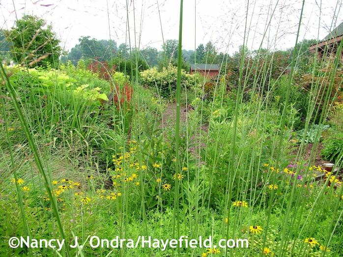 Molinia caerulea 'Skyracer' at Hayefield.com