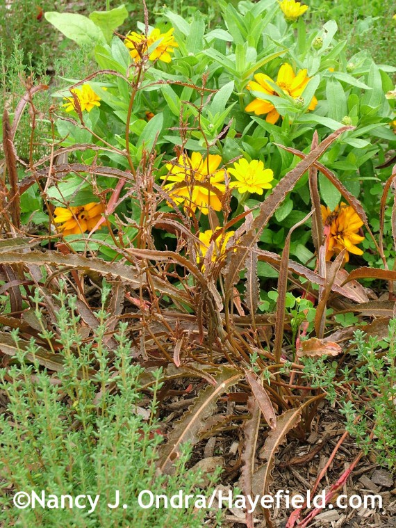 Rumex flexuosus with Thymus vulgaris and Zinnia 'Profusion Double Golden' at Hayefield.com