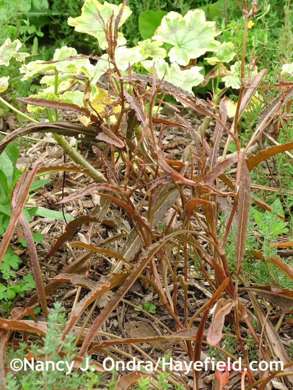 Rumex flexuosus at Hayefield.com