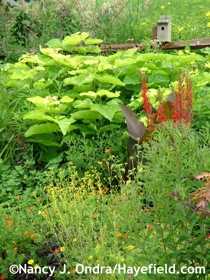 Catalpa bignonioides 'Aurea' with Lobelia cardinalis, Canna 'Australia', Patrinia scabiosifolia, and Tagetes patula 'Moldova' at Hayefield.com