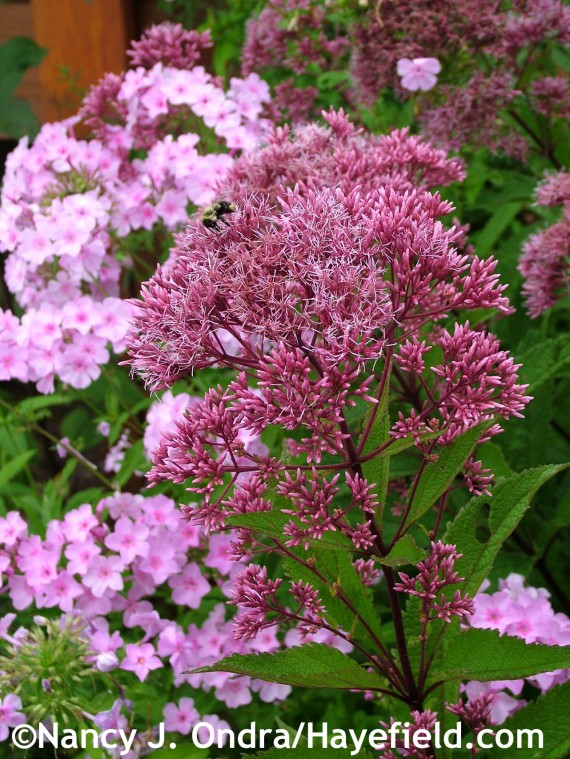 Eutrochium purpureum subsp. maculatum with Phlox paniculata at Hayefield.com