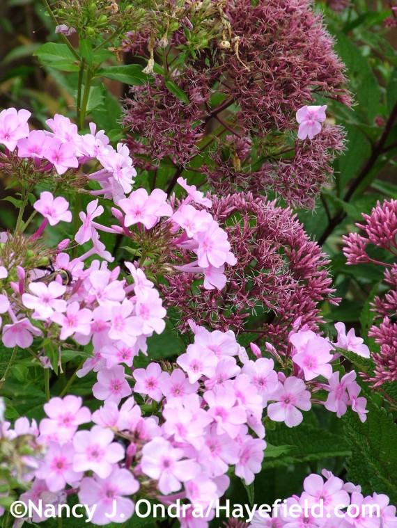 Phlox paniculata with Eutrochium purpureum subsp. maculatum at Hayefield.com