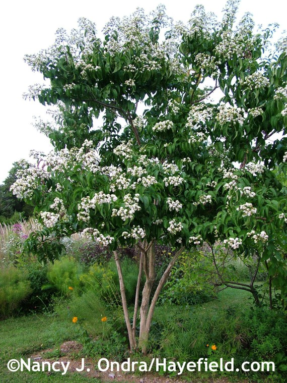 Heptacodium miconioides at Hayefield.com