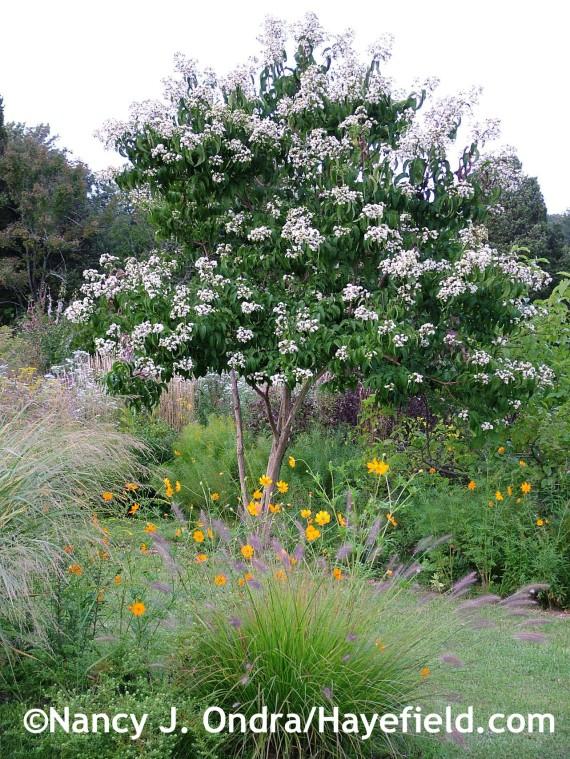 Heptacodium miconioides, Pennisetum alopecuroides 'Cassian', and Cosmos sulphureus at Hayefield.com