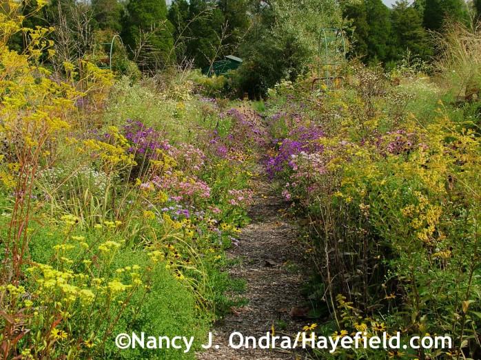 Patrinia scabiosifolia, Molinia caerulea 'Skyracer', Rudbeckia fulgida var. fulgida, Symphyotrichum novae-angliae at Hayefield.com