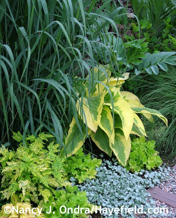 Panicum virgatum 'Dallas Blues' wuth Abutilon x hybridum 'Yellow Form', Heuchera 'TNHEU042' [Dolce Key Lime Pie], Dichondra argentea 'Silver Falls', Symphytum x uplandicum 'Axminster Gold', Melianthus major, and Sporobolus heterolepis 2005 at Hayefield.com