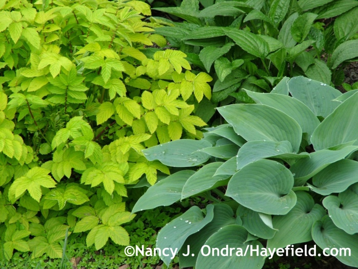 Hosta 'Halcyon' with Filipendula ulmaria 'Aurea' at Hayefield.com