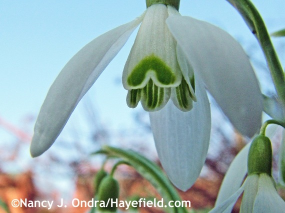 Galanthus nivalis at Hayefield.com