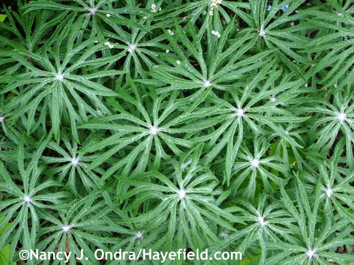 Syneilesis aconitifolia at Hayefield.com