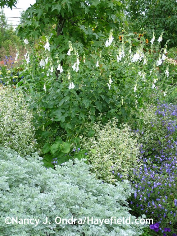 'Powis Castle' wormwood (Artemisia) with 'Snow Fairy' bluebeard (Caryopteris divaricata), white South African foxglove (Ceratotheca triloba 'Alba'), and Browallia americana at Hayefield.com