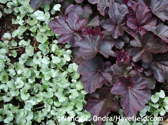 'Silver Falls' silver ponyfoot (Dichondra argentea) with Heuchera 'Obsidian' at Hayefield.com
