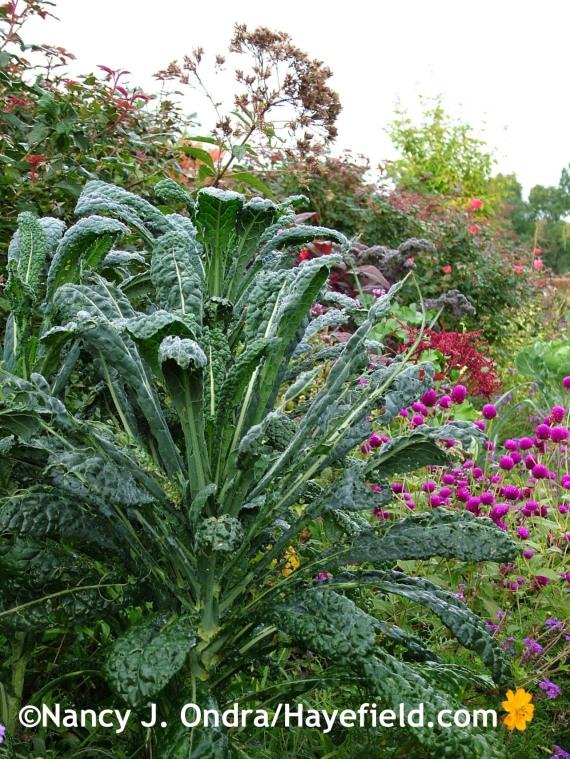 Kale 'Lacinato'/'Nero di Toscana' at Hayefield.com