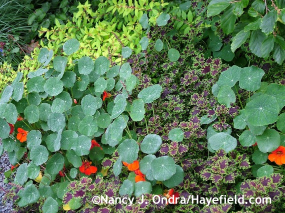 Tropaeolum majus 'Empress of India' and 'Inky Fingers' coleus at Hayefield.com