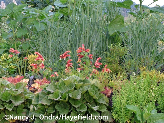 'Heavy Metal' switch grass (Panicum virgatum) with Geum foliage and Justicia brandegeana at Hayefield.com