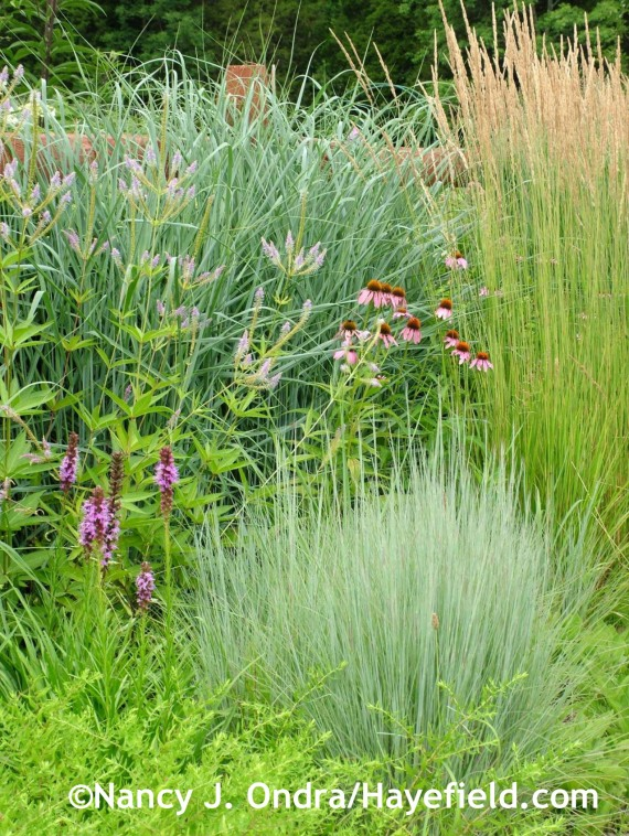 'The Blues' little bluestem (Schizachyrium scoparium), 'Dewey Blue' bitter panic grass (Panicum amarum), and 'Karl Foerster' feather reed grass (Calamagrostis x acutiflora) with purple coneflower (Echinacea purpurea), spike gayfeather (Liatris spicata), and 'Temptation' Culver's root (Veronicastrum) at Hayefield.com