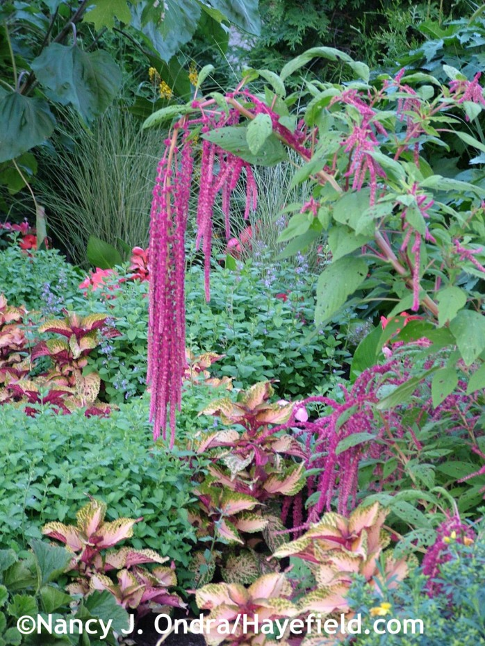 'Walker's Low' catmint (Nepeta) with love-lies-bleeding (Amaranthus caudatus) and 'Amora' coleus at Hayefield.com
