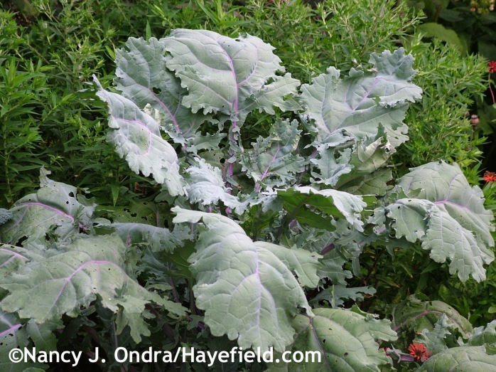 Kale 'Red Russian'/'Russian Red' at Hayefield.com