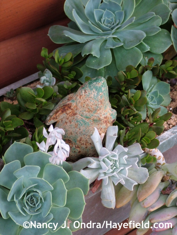 Echeveria glauca and 'Silver Spoons' with jade plant (Crassula) at Hayefield.com