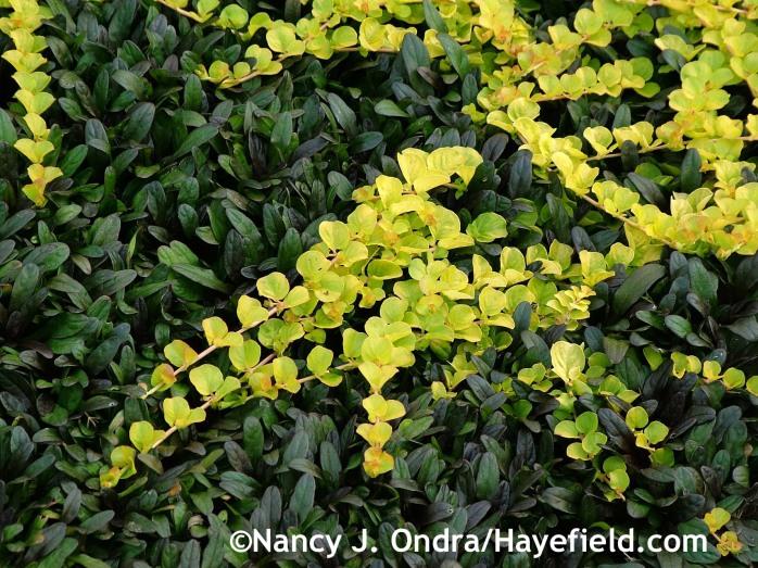 hocolate Chip ajuga [Ajuga reptans 'Valfredda'] with golden creeping Jenny [Lysimachia nummularia 'Aurea'] at Hayefield.com
