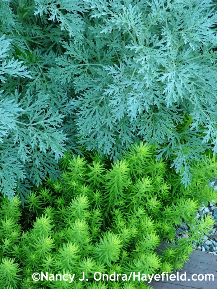 Artemisia 'Powis Castle' with Sedum 'Angelina' at Hayefield.com