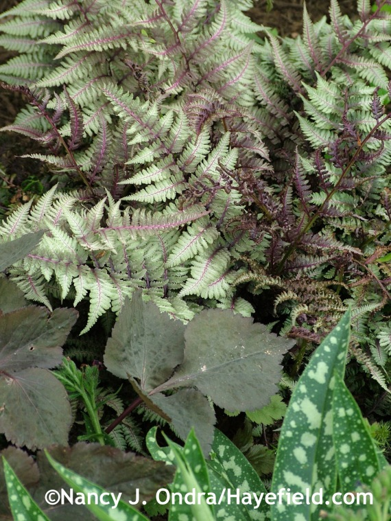Japanese painted fern (Athyrium niponicum var. pictum) with Cryptotaenia japonica f. atropurpurea at Hayefield.com