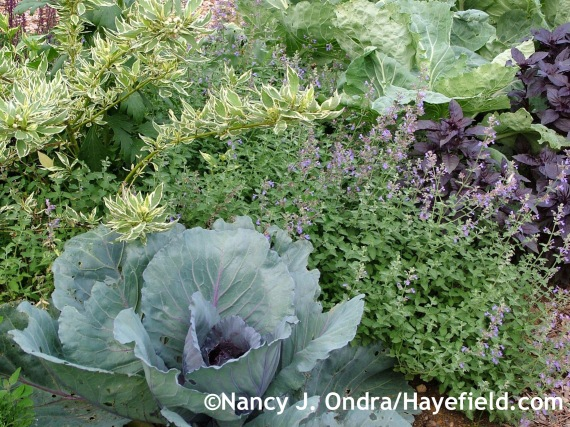 'Ruby Perfection' cabbage with 'Walker's Low' catmint (Nepeta) and 'Silver and Gold' yellow-twig dogwood (Cornus sericea) at Hayefield.com
