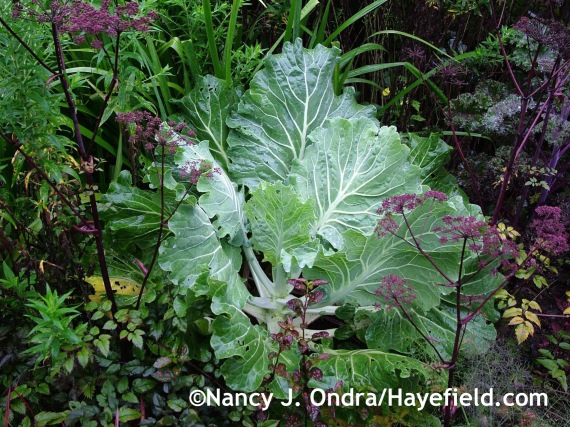 Couve tronchuda (Portuguese kale) with Angelica 'Ebony' at Hayefield.com