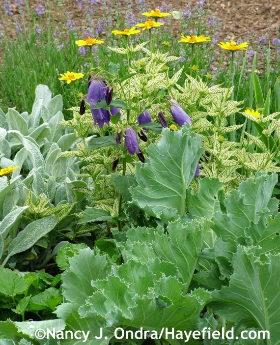 Sea kale (Crambe maritima), lamb's ears (Stachys byzantina), 'Sarastro' bellflower (Campanula), and Loraine Sunshine oxeye (Heliopsis helianthoides 'Helhan') at Hayefield.com