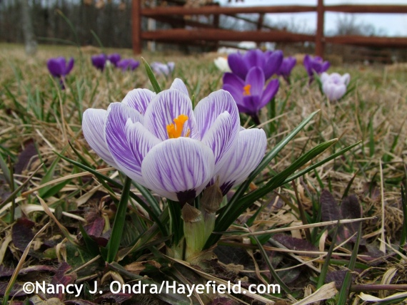 Dutch crocus (Hokus Crocus Mix) at Hayefield.com