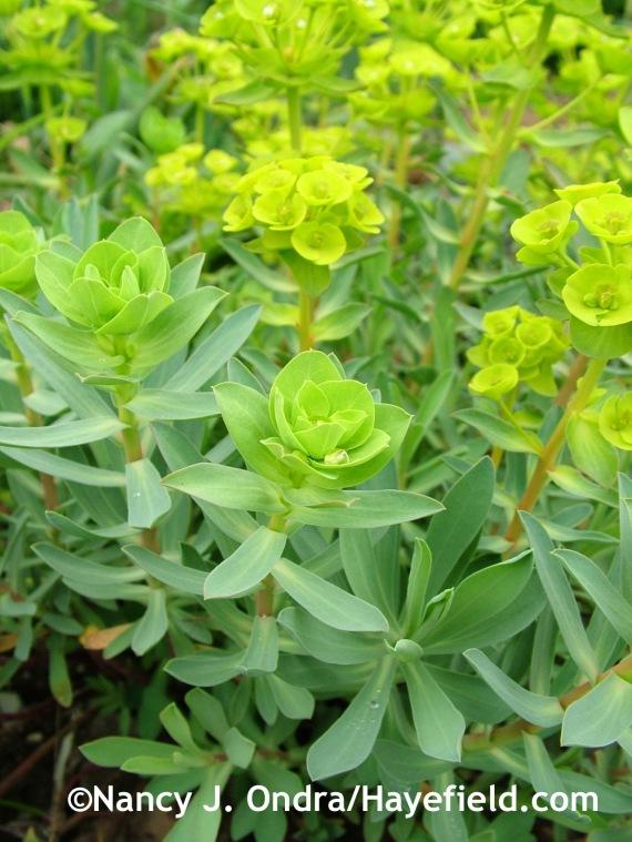 Euphorbia nicaaensis at Hayefield.com
