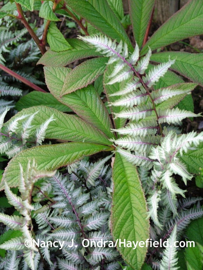 'Pewter Lace' Japanese painted fern with featherleaf rodgersia (Rodgersia pinnata) at Hayefield.com