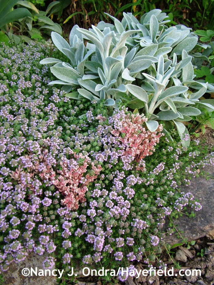 Lamb's ears (Stachys byzantina) with creeping thyme (Thymus praecox Coccineus Group) and Spanish stonecrop (Sedum hispanicum) at Hayefield.com