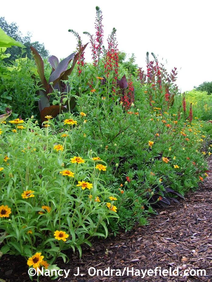 Front garden middle border with Canna 'Australia', Lobelia cardinalis, Tagetes patula 'Moldova', and Zinnia haageana 'Soleado' at Hayefield.com