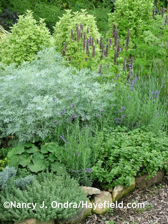 'Powis Castle' artemisia, 'Pesto Perpetuo' basil, 'Black Adder' agastache, English lavender (Lavandula angustifolia), 'Hot and Spicy' oregano, lady's mantle (Alchemilla mollis), and silver thyme (Thymus x citriodorus 'Argentatus') at Hayefield.com