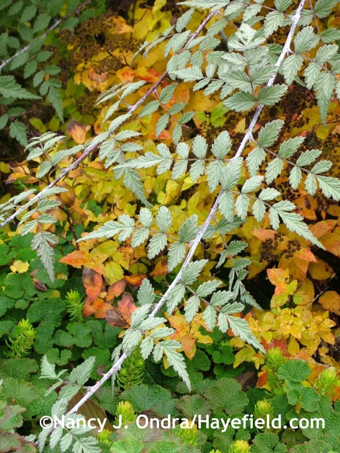 Rubus thibetanus at Hayefield.com